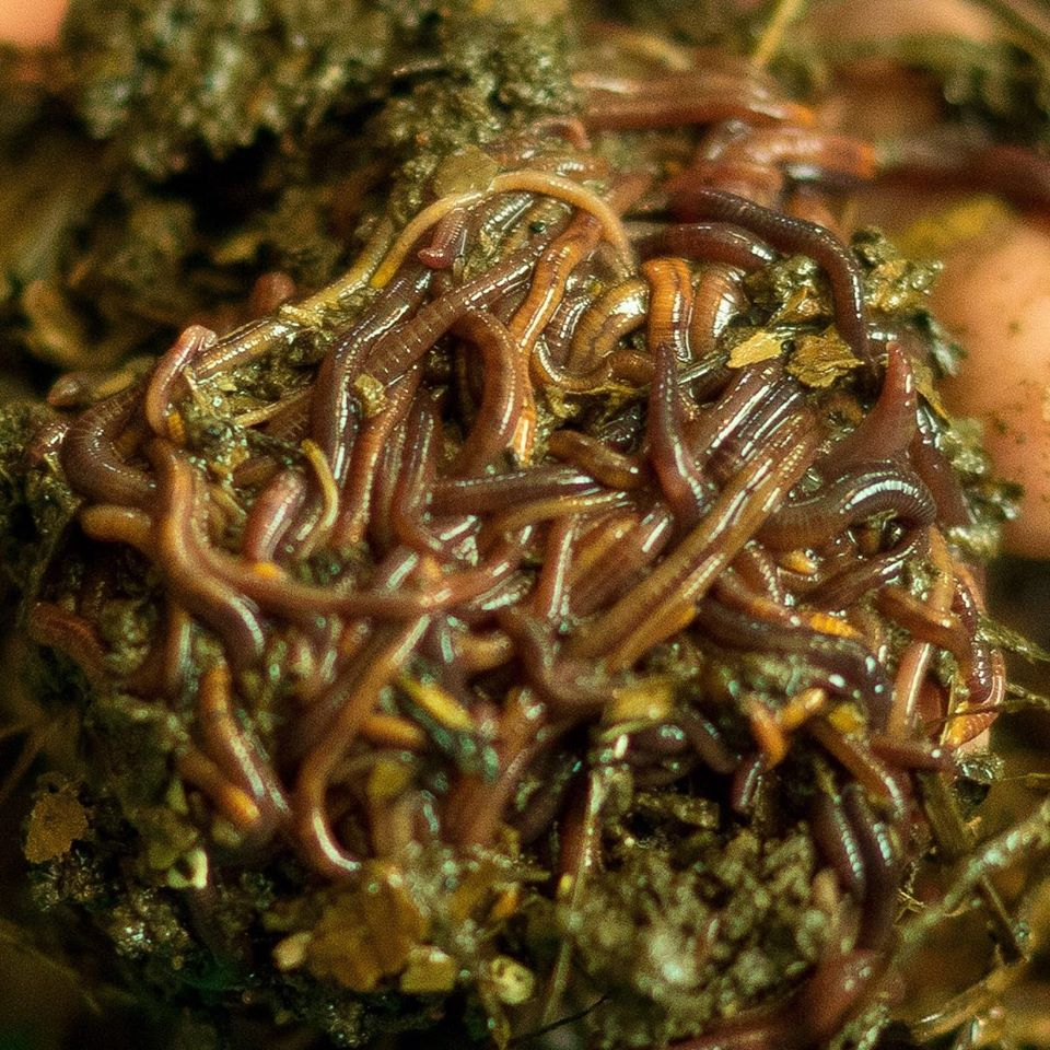 Mississippi micro livestock farmer reduces food waste with worms.